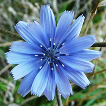 Chicory Bach Flower