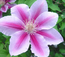 Clematis Bach Flower